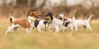 A lot of Jack Russell Terrier are standing in a meadow royalty free stock photography