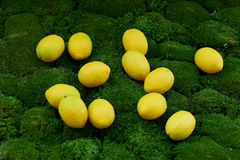Lot of juicy yellow lemons on the thick green moss golanska Royalty Free Stock Images