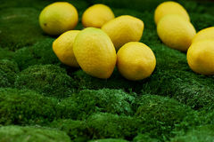 Lot of juicy yellow lemons on the thick green moss golanska Stock Images