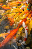 A lot of koi fish. Colorful Japanese Koi fish carp during a feeding frenzy Royalty Free Stock Photography