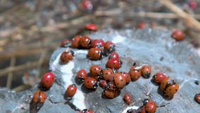 A lot of ladybirds on a stone.  stock video footage