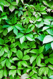 A lot of leafs. Nature background Royalty Free Stock Photo