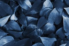 A lot of leaves in the jungle and closed greenhouse. Tinted tropical leaves in the color of the year 2020. Natural classic blue