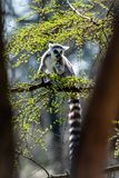 A lot of lemur catta in a tree royalty free stock images