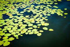 A lot of lily pad leaves in a pond on blue water royalty free stock photo