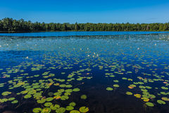 A lot of lily pads on a lake Royalty Free Stock Photo