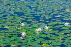 A lot of lily pads on a lake Royalty Free Stock Photography