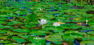 A lot of lily pads on a lake Stock Image