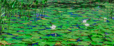 A lot of lily pads on a lake Royalty Free Stock Images