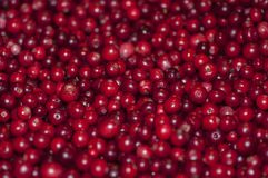 A lot of lingonberry. A lot of red lingonberry in a big pile Stock Photo