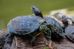 A lot of little land turtles with red spots are sitting on a stone royalty free stock images