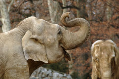 Lot of lough. Elephants Stock Images