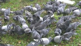 Lot of mad pigeons in city park. stock video