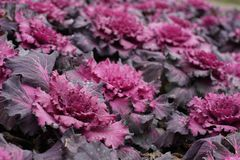 A lot of Mangenta Cabbage. (Brassica Oleracea Capitata Group Royalty Free Stock Photos