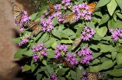 Lot of monarch butterflies. Lot of beautiful monarch butterflies or Danaus plexippus over green sleaves Stock Photo