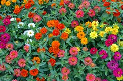 A lot of multicolored blossoming zinnias royalty free stock photography