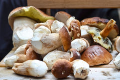 A lot of Mushroom Boletus picked in forest over Wooden Background Stock Photo