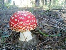 a_lot_of_mushrooms di rosso di bellezza di Ñ€ del ¾ del ¼ Ð del ¾ Ð di Мух Ð della mosca di fungo della foresta della natura Fotografie Stock