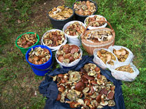 A lot of mushrooms Stock Image