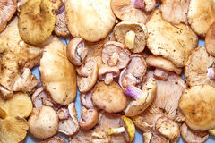 It is a lot of mushrooms Stock Photography