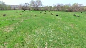 Lot nad polem na którym pasają stado krowy Ptasi ` s oka widok zbiory wideo