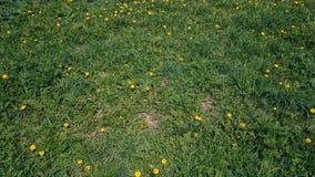 Lot nad zieloną łąką żółci dandelions w lecie zbiory