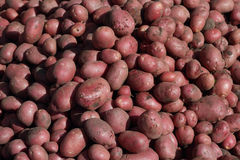 A lot of new red potatoes Stock Images