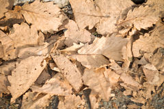 A lot of oak leaves. On the ground Royalty Free Stock Photo