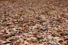 A lot of oak's leafs. In a autumn park Royalty Free Stock Photography