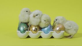 Funy yellow chicks nesting together on easter eggs in tray. Yellow background