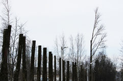 lot old poplar trees with the tops sawn off are standing in a row Stock Photo