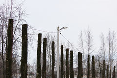 lot old poplar trees with the tops sawn off are standing in a row Royalty Free Stock Photos