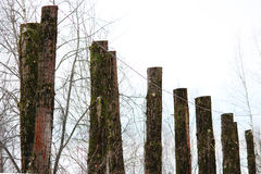 lot old poplar trees with the tops sawn off are standing in a row Royalty Free Stock Photo