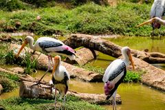 A lot of painted storks searching fish on water at zoo close view. Awesome view of painted storks at zoon wondering food or fish at muddy water in zoo royalty free stock image