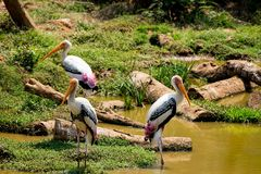 A lot of painted storks searching fish on water at zoo close view. Awesome view of painted storks at zoon wondering food or fish at muddy water in zoo stock photo