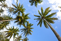 A lot of palm tree in Maldives Stock Photo