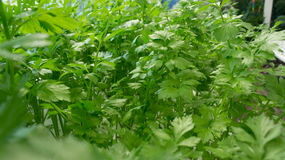 A lot of parsley grows Royalty Free Stock Images