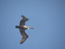lot pelikana brown Obrazy Royalty Free