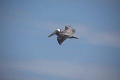 lot pelikana brown Zdjęcia Royalty Free