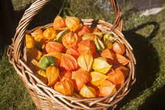 A lot of Physalis in a basket. A lot of green, yellow and orange Physalis in a basket Stock Photo