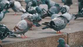 Lot of Pigeons Eat Food on the City Street in Slow Motion. Lot of pigeons eat food on the street. Slow Motion in 96 fps. Flock of pigeons eating bread outdoors stock video footage