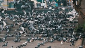 Lot of Pigeons Eat Food on the City Street in Slow Motion. Lot of pigeons eat food on the street. Slow Motion in 96 fps. Flock of pigeons eating bread outdoors stock video