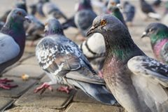 A lot of pigeons royalty free stock photography