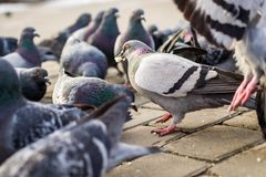 A lot of pigeons royalty free stock image