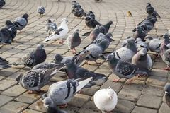A lot of pigeons stock image