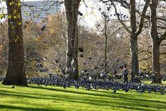 A lot of pigeons in St. Jame´s park Stock Images