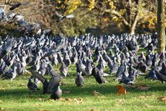 A lot of pigeons in St. Jame´s park Royalty Free Stock Image