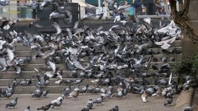 Lot of Pigeons on the Steps at the City Street Eat Food in Slow Motion. Lot of Pigeons on the Steps at the City Street Eat Food. Slow Motion in 96 fps. Flock of stock video footage