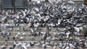 Lot of Pigeons on the Steps at the City Street Eat Food in Slow Motion. Lot of Pigeons on the Steps at the City Street Eat Food. Slow Motion in 96 fps. Flock of stock footage
