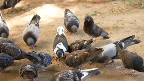 A lot of pigeons taking off from feeder stock video footage